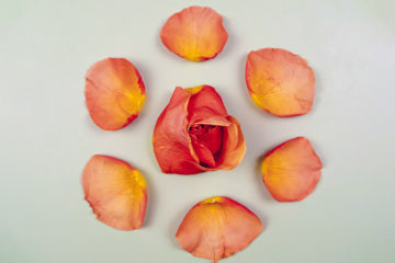 rose oil benefits cover