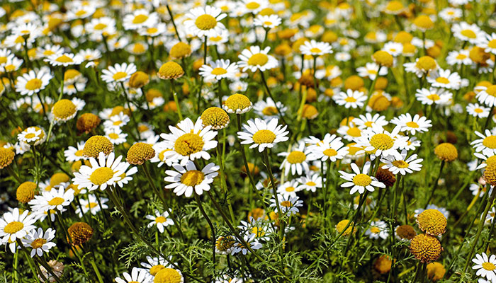 chamomile a great natural remedy to mosquitos